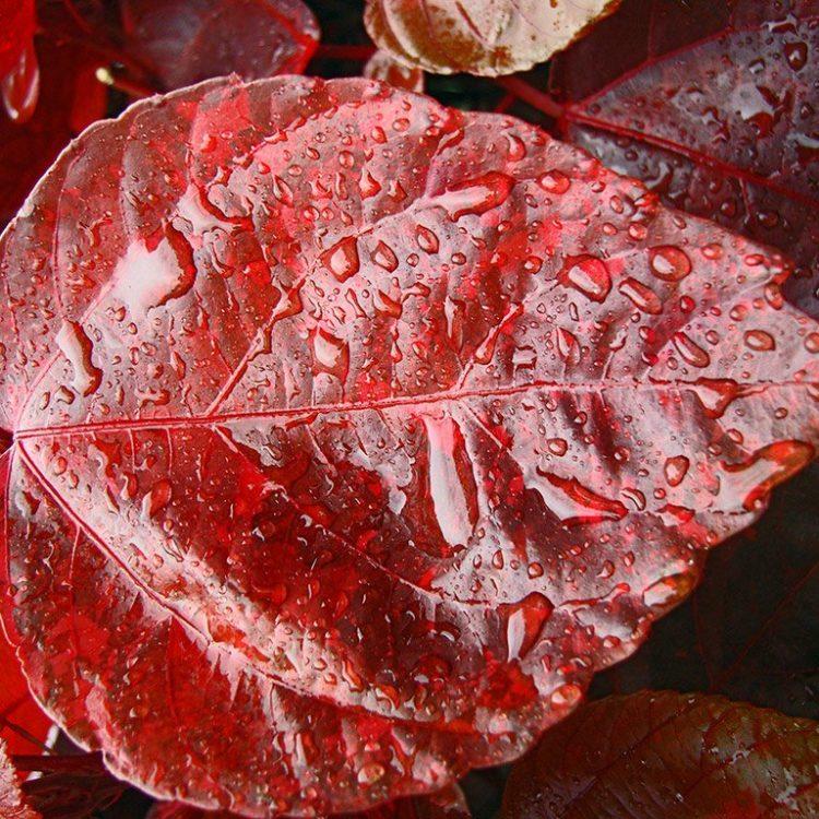 Rött blad med vattendroppar som fotokonst fotograferad av foto & design Per Stålfors