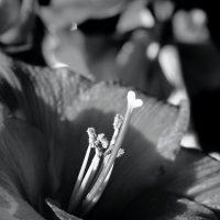 Amaryllis som fotokonst fotograferad av foto & design Per Stålfors