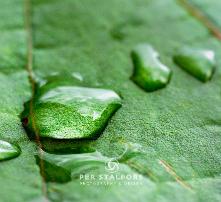 Vatten droppe på ett vinblad